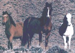 Wild Horses of the American West